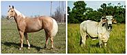 Click image for larger version.  Name:Brahma Bull & Palamino Horse.JPG Views:8 Size:81.8 KB ID:452532