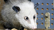 Click image for larger version.  Name:110928075550-heidi-german-opossum-story-top.jpg Views:6 Size:29.4 KB ID:451287